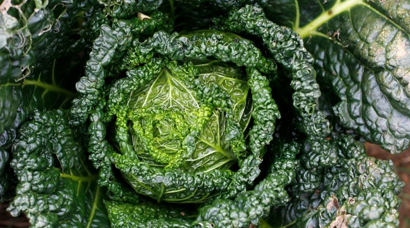 Grünkohl – Das Wintergemüse