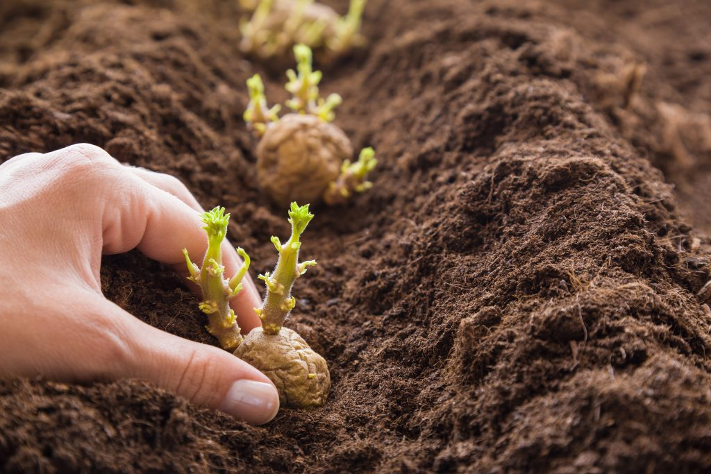 Kartoffeln pflanzen, Pflanzkartoffel